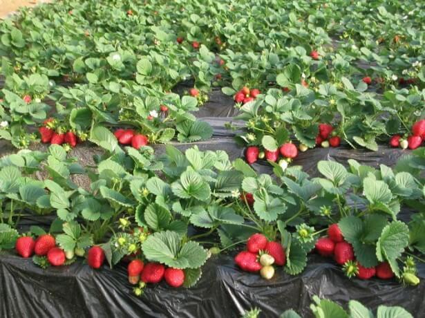 Как начать начать домашний бизнес на выращивании клубники